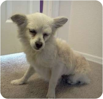 Chihuahua Mix Dog for adoption in San Antonio, Texas - Nelly