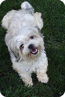 Shih Tzu Mix Dog for adoption in Lake Odessa, Michigan - Rebel
