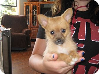Pomeranian/Yorkie, Yorkshire Terrier Mix Puppy for adoption in Greenville, Rhode Island - Tina