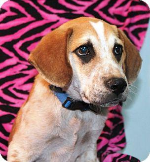 Hound (Unknown Type) Mix Puppy for adoption in Hainesville, Illinois - Potter