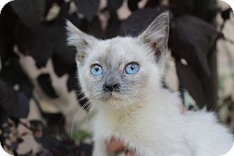 Siamese Kitten for adoption in Santa Monica, California - Meri