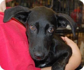 Retriever (Unknown Type)/Labrador Retriever Mix Puppy for adoption in Brooklyn, New York - Patience