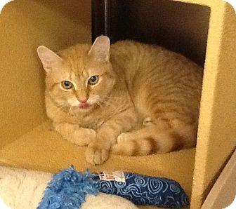 Domestic Shorthair Cat for adoption in Colmar, Pennsylvania - Bam Bam