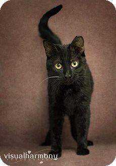 Domestic Shorthair Cat for adoption in Phoenix, Arizona - Kyra