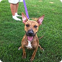 Boxer/Bull Terrier Mix Dog for adoption in Baton Rouge, Louisiana - Buzz