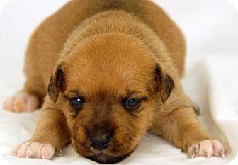Schnauzer (Standard)/Jack Russell Terrier Mix Puppy for adoption in Newland, North Carolina - Velma