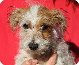 Cairn Terrier Mix Puppy for adoption in Pewaukee, Wisconsin - JASPER- cute as abutton