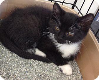 Domestic Shorthair Kitten for adoption in Horsham, Pennsylvania - C.J.