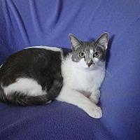 Oriental Cat for adoption in Sarasota, Florida - Darren