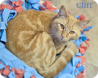 Domestic Shorthair Cat for adoption in West Des Moines, Iowa - Cliff