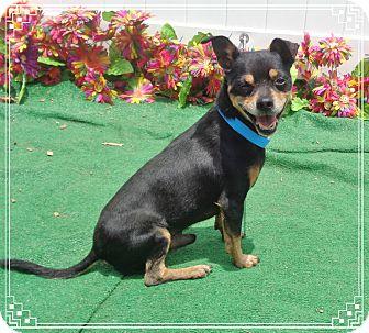 Chihuahua Dog for adoption in Marietta, Georgia - ROCKY see also JUMP