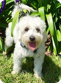 Poodle (Miniature) Mix Dog for adoption in La Jolla, California - MARLEY