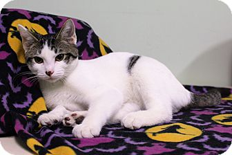 Domestic Shorthair Kitten for adoption in Murphysboro, Illinois - Nelson