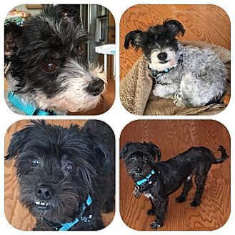 Havanese Dog for adoption in Mt Gretna, Pennsylvania - Caitlyn & Bruce