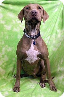 Chesapeake Bay Retriever Mix Dog for adoption in Westminster, Colorado - Eloise