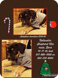 Rottweiler/German Shepherd Dog Mix Puppy for adoption in springtown, Texas - Titus