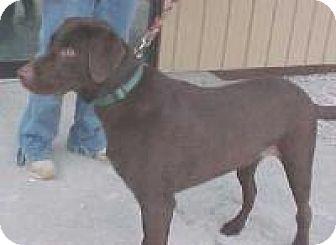 Labrador Retriever Dog for adoption in Palatine/Kildeer/Buffalo Grove, Illinois - C.J.