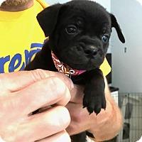 Adopt A Pet :: The Hamilton Litter - San Francisco, CA