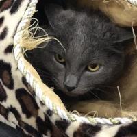 Adopt A Pet :: Athena (front declawed) - Warren, MI