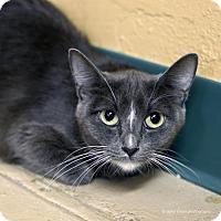 Adopt A Pet :: Kurenai - Tucson, AZ
