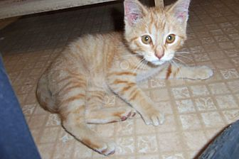 Domestic Shorthair Kitten for adoption in Medford, Wisconsin - MALCOLM