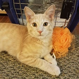 Domestic Shorthair Kitten for adoption in Norristown, Pennsylvania - Bentley