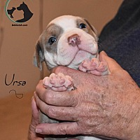 Adopt A Pet :: URSA - SEEKING FOSTER TO ADOPT - Hurricane, UT
