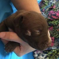 Adopt A Pet :: Puppy - Apricot - Kirby, TX