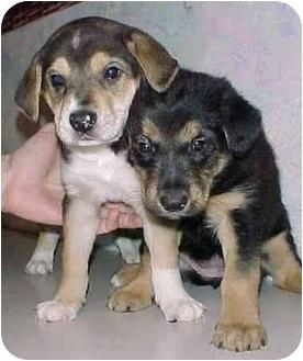 German Shepherd Dog/Terrier (Unknown Type, Medium) Mix Puppy for adoption in North Judson, Indiana - Shepherd/Terrier Pups