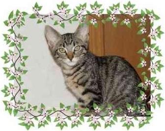Domestic Shorthair Kitten for adoption in KANSAS, Missouri - Star