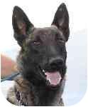Dutch Shepherd Dog for adoption in Jamestown, California - Alfie-In SO CA