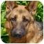 Photo 1 - German Shepherd Dog Dog for adoption in Los Angeles, California - Heinz von Herzig