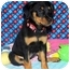 Photo 3 - Rottweiler Mix Puppy for adoption in Broomfield, Colorado - Tinkerbell