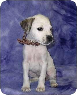 Labrador Retriever/Retriever (Unknown Type) Mix Puppy for adoption in Broomfield, Colorado - Lucky