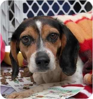 Beagle Dog for adoption in Cincinnati, Ohio - Minnie
