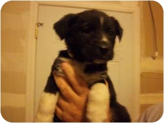 Border Collie Mix Puppy for adoption in Westminster, Colorado - Aerial