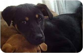 Labrador Retriever/Doberman Pinscher Mix Puppy for adoption in Simi Valley, California - Nina