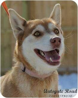 Husky Dog for adoption in Hastings, Nebraska - Darbie