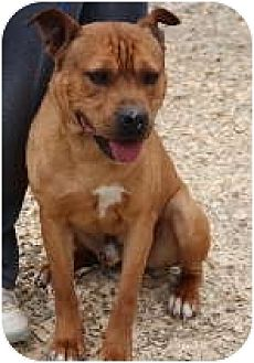 American Staffordshire Terrier Mix Dog for adoption in Midlothian, Virginia - Blaze