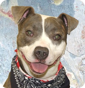 Pit Bull Terrier Mix Dog for adoption in Cincinnati, Ohio - Santi