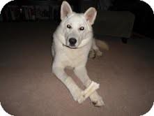 Husky Mix Dog for adoption in Okotoks, Alberta - Aspen