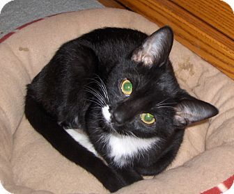 Domestic Shorthair Cat for adoption in Richmond, Virginia - Jerry