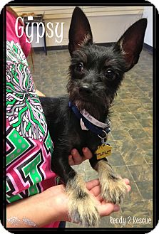 Terrier (Unknown Type, Small)/Miniature Schnauzer Mix Puppy for adoption in Rockwall, Texas - Gypsy