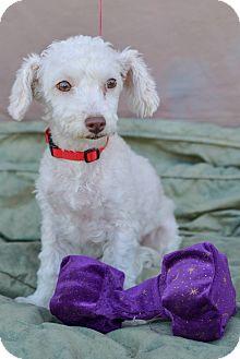 Poodle (Miniature) Puppy for adoption in El Cajon, California - MINDY