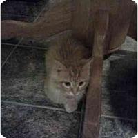 Adopt A Pet :: Pumpkin - Washington Terrace, UT