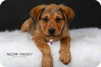 Shepherd (Unknown Type)/Rottweiler Mix Puppy for adoption in Edmonton, Alberta - Rainbow
