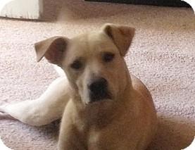 Labrador Retriever Dog for adoption in Bedminster, New Jersey - BUDDY
