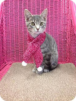 Domestic Shorthair Kitten for adoption in Austintown, Ohio - Oscar