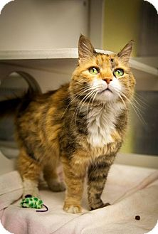 Domestic Mediumhair Cat for adoption in Jackson, New Jersey - Lady