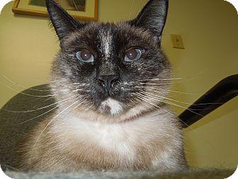 Tonkinese Cat for adoption in Medina, Ohio - Grace